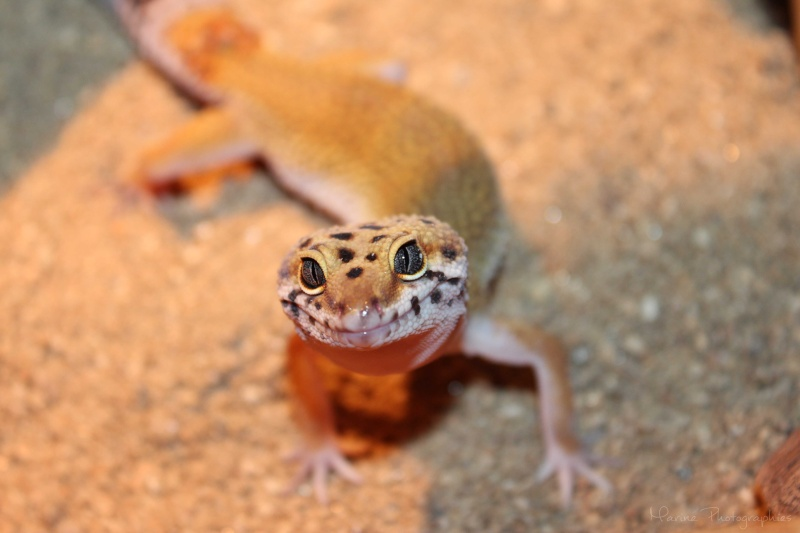 [Geckos Léopard] Krokmou, Mira et Pêche. Img_9612