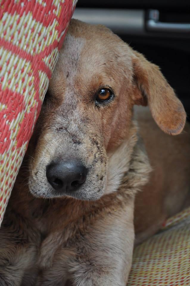 Des chiens volés destinés à la consomation: Nouvelle Calédonie! 29293310