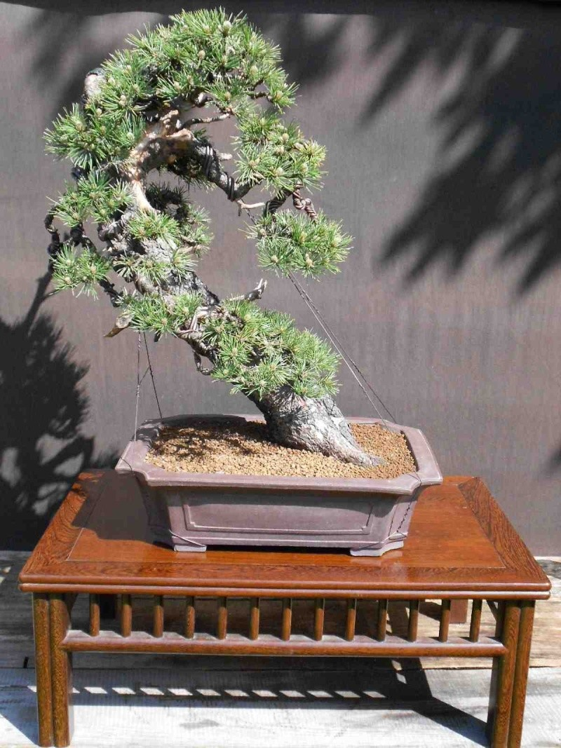 Pinus uncinata in a classic Japanese style  - Page 2 410