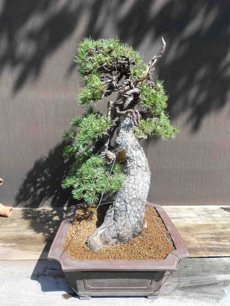 Pinus uncinata in a classic Japanese style  - Page 2 510