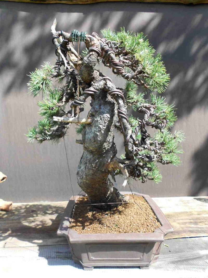 Pinus uncinata in a classic Japanese style  - Page 2 710