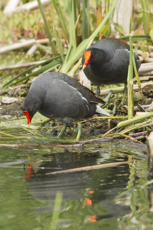 Gallinule poule d'eau / en couple Gallin14