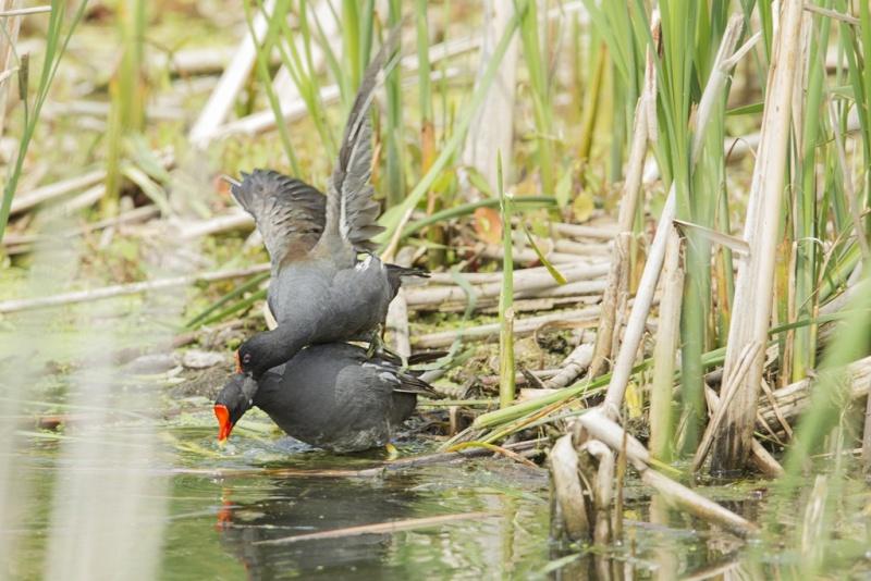 Gallinule poule d'eau / en couple Gallin15