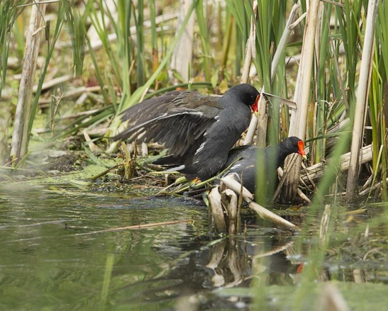 Gallinule poule d'eau / en couple Gallin17