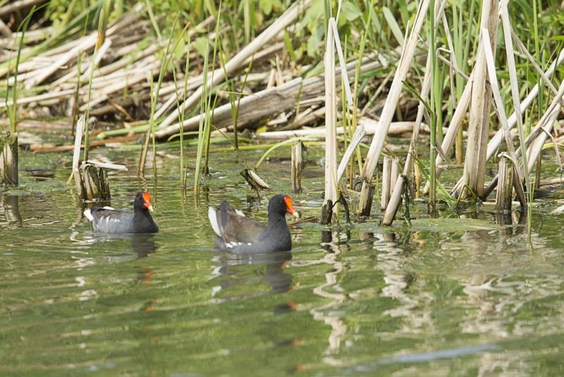 Gallinule poule d'eau / en couple Gallin19