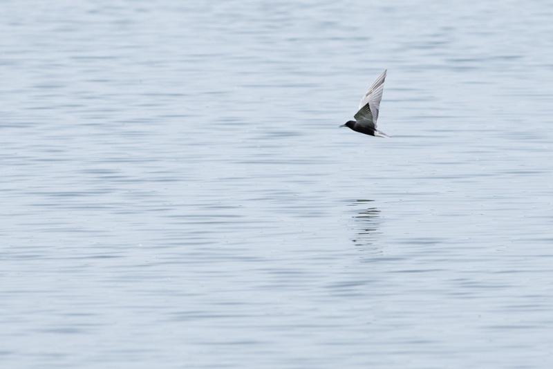 Guifette noire en vol ( 2 photos) Guifet12