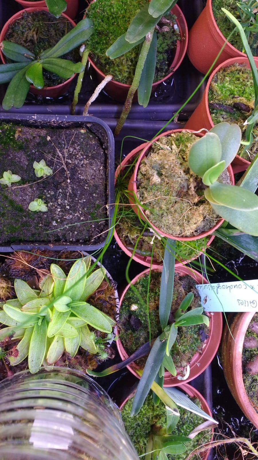 pinguicula primuliflora : repos ou pas Img-2010