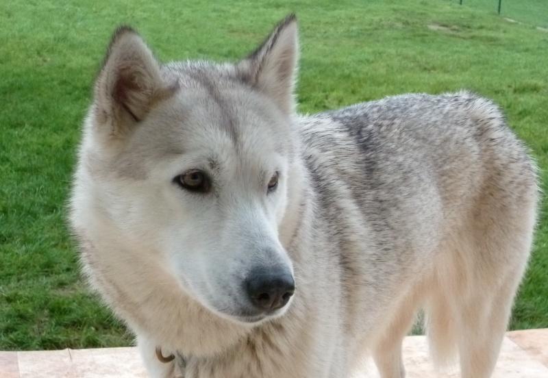 SOS POUR NUKKA femelle husky de 4 ans EUTHA PREVUE FIN DE SEMAINE Nukka10