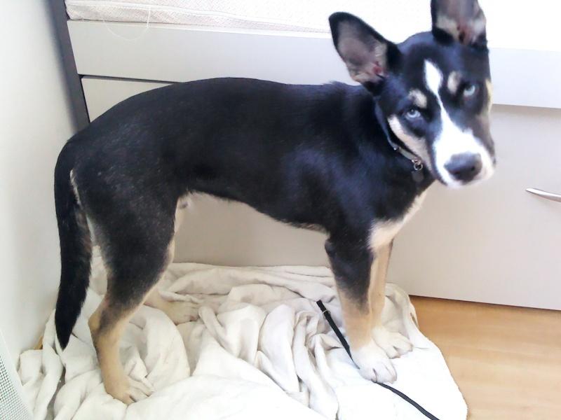Rex croisé husky de 7 mois (dépt 13) Rex10