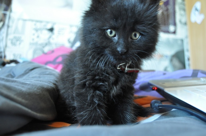 Ice petit chaton noir aux poils mi-longs Chaton10
