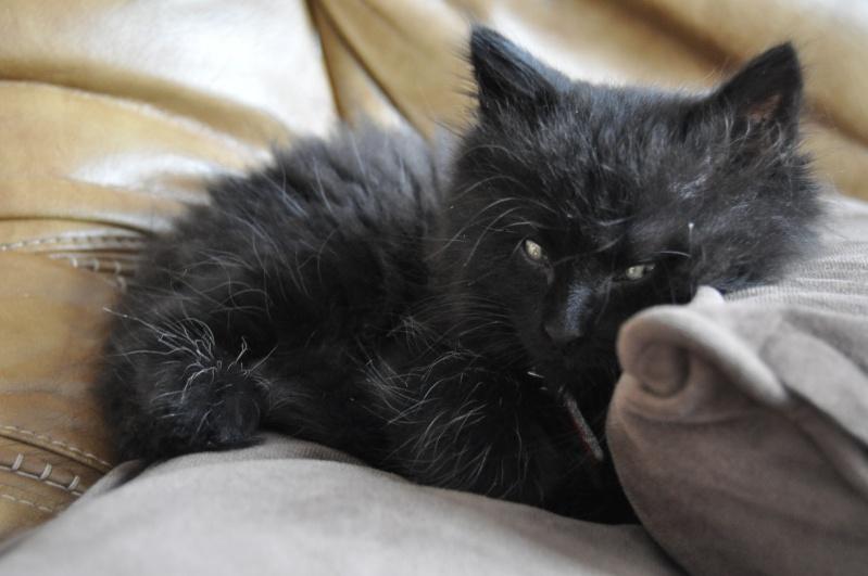 Ice petit chaton noir aux poils mi-longs Dsc_0111