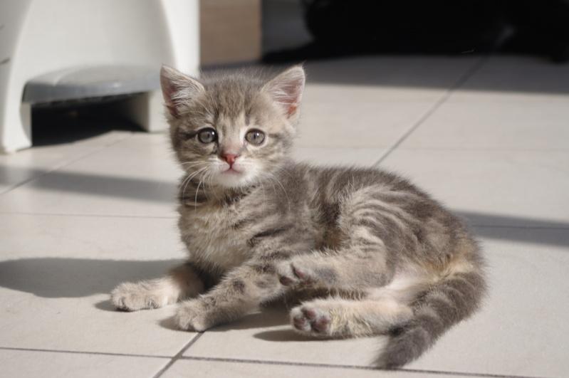 Izzie petite chatonne tigrée bleue Imgp3710