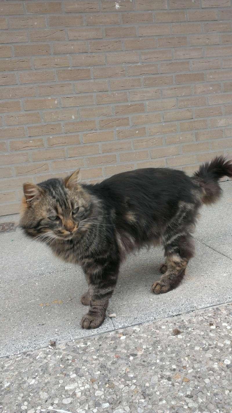 Filou joli chat tigré à poils mi-longs cherche un accueil St_ama14