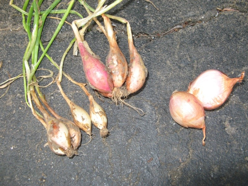 A small shallot harvest 00410