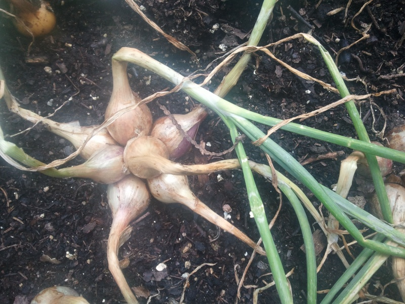 A small shallot harvest 16510