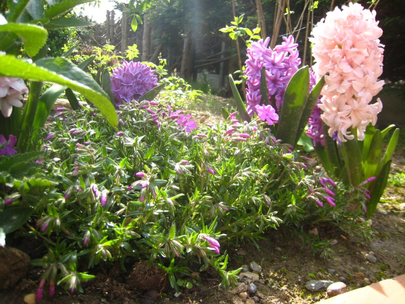 Jacinthe , Hyacinthus - Page 6 Img_5911
