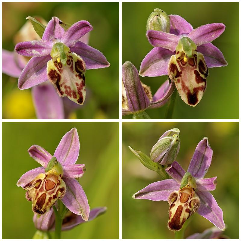Ophrys apifera formes avec clés de recherches... Sommev10