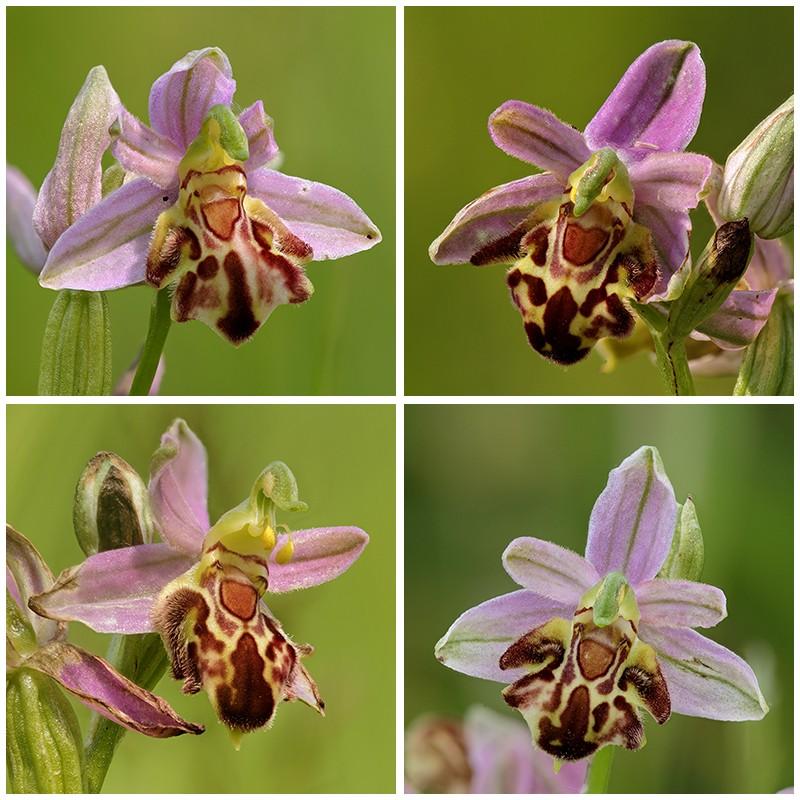 Ophrys apifera formes avec clés de recherches... Sommev11