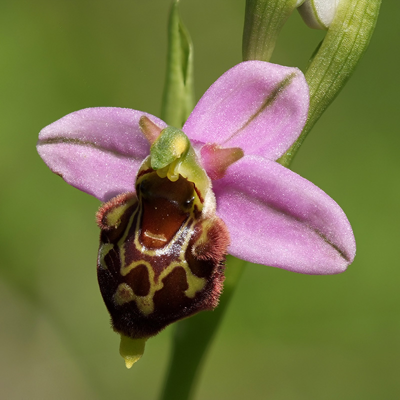 Ophrys fuciflora ( Ophrys frelon  ) Wo54_610