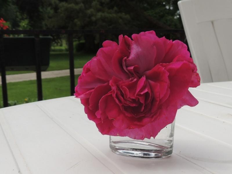Variation de couleurs d'une même rose 2013_648