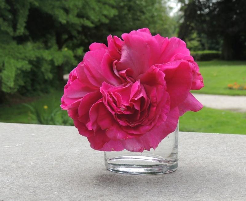 Variation de couleurs d'une même rose 2013_649