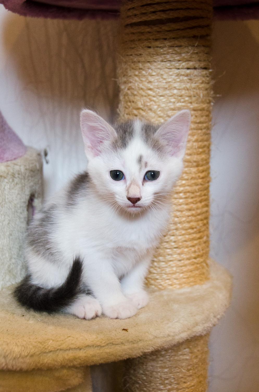 Oasis, femelle type européenne blanche et tigrée, née le 22 avril 2018 Oasis_11