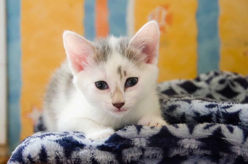 Oasis, femelle type européenne blanche et tigrée, née le 22 avril 2018 Oasis_14