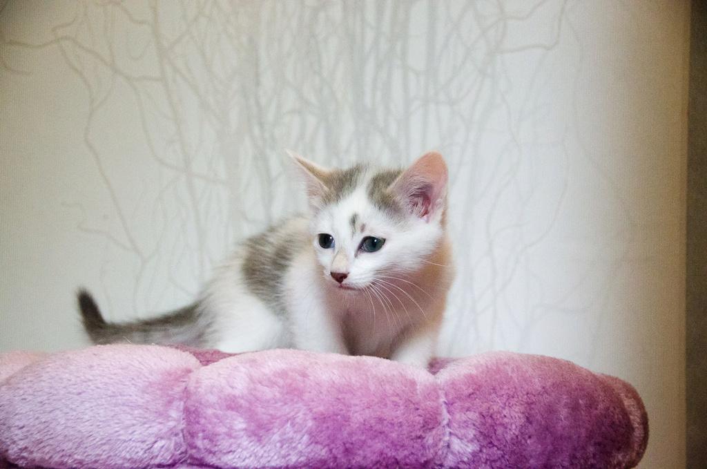 Oasis, femelle type européenne blanche et tigrée, née le 22 avril 2018 Oasis_15