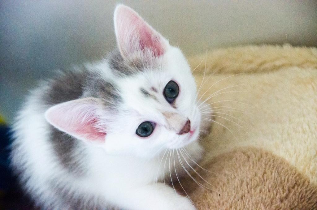 Oasis, femelle type européenne blanche et tigrée, née le 22 avril 2018 Oasis_17