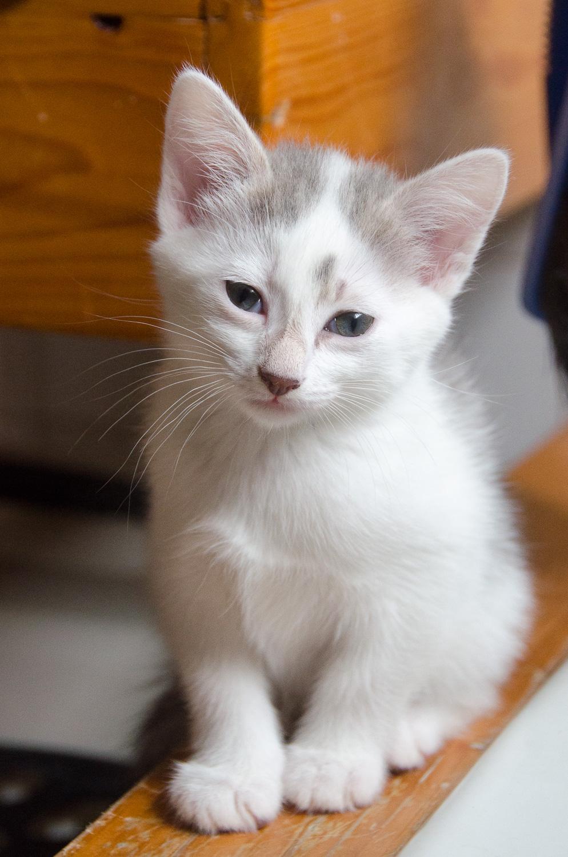 Oasis, femelle type européenne blanche et tigrée, née le 22 avril 2018 Oasis_18