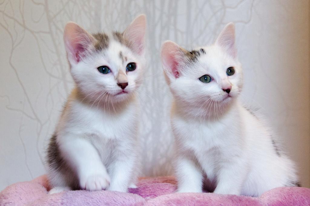 Oasis, femelle type européenne blanche et tigrée, née le 22 avril 2018 Oasis_19