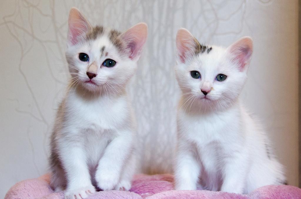 Oasis, femelle type européenne blanche et tigrée, née le 22 avril 2018 Oasis_20