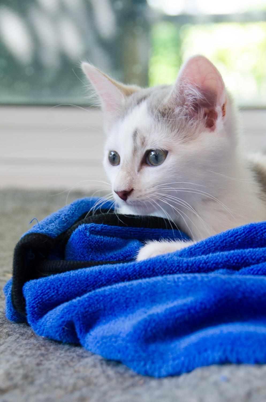 Oasis, femelle type européenne blanche et tigrée, née le 22 avril 2018 Oasis_24