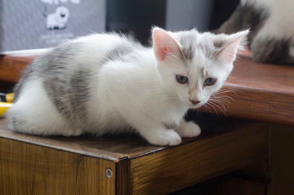 Oasis, femelle type européenne blanche et tigrée, née le 22 avril 2018 Oasis_28