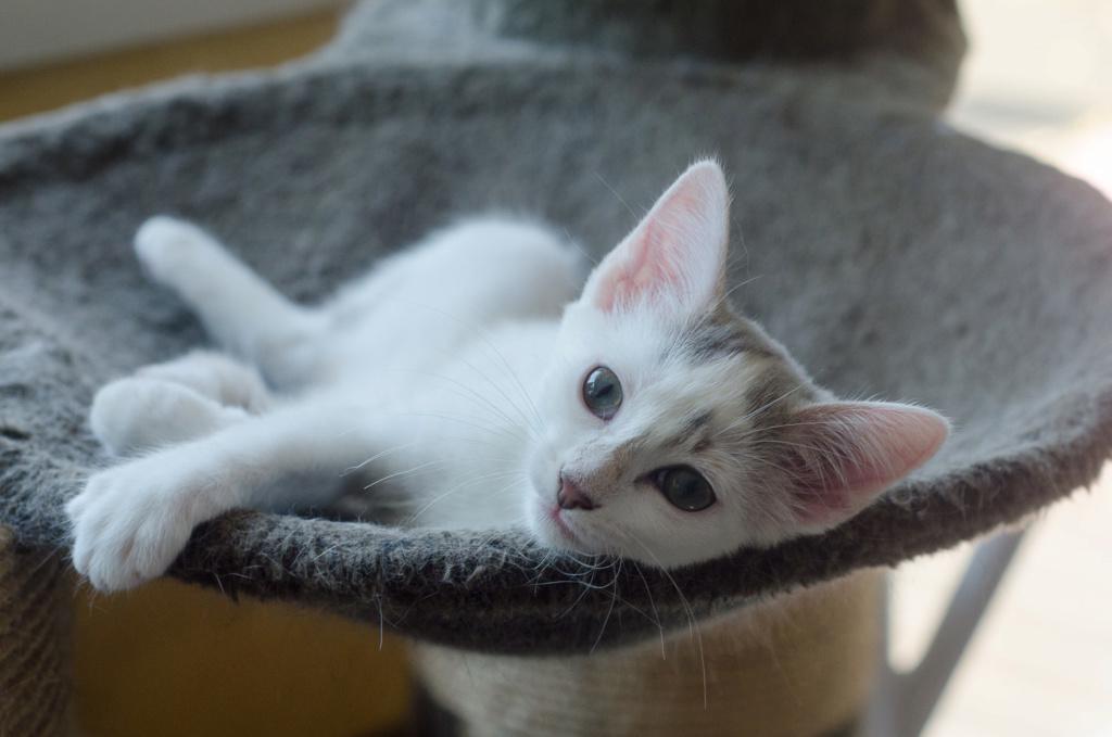 Oasis, femelle type européenne blanche et tigrée, née le 22 avril 2018 Oasis_32