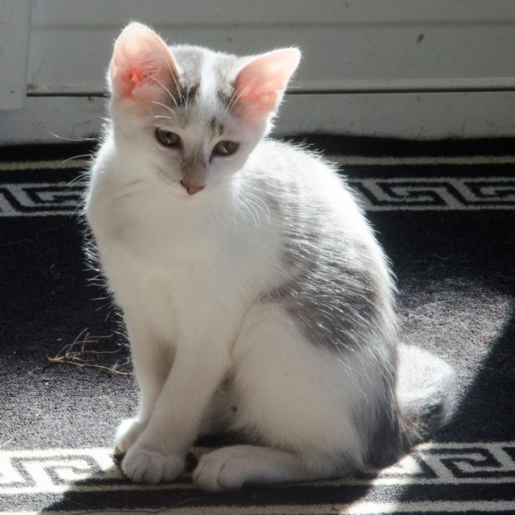 Oasis, femelle type européenne blanche et tigrée, née le 22 avril 2018 Oasis_45