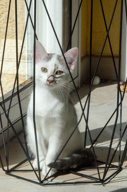 Oasis, femelle type européenne blanche et tigrée, née le 22 avril 2018 Oasis_46