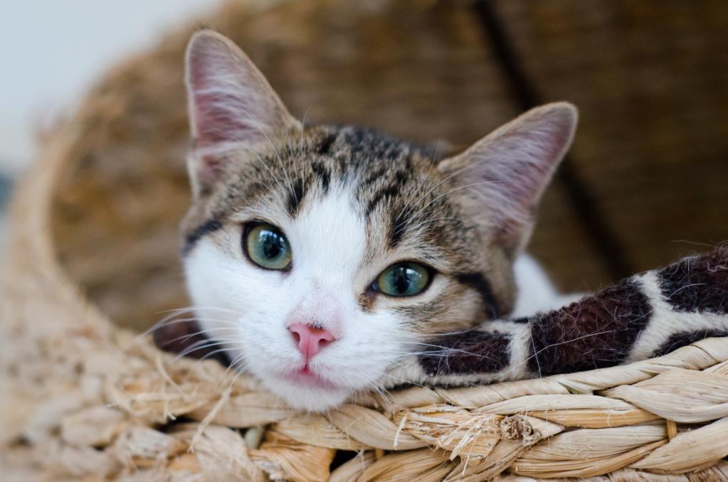 Olga, femelle type européenne tigrée noire et blanche née le 20 septemebre 2018 - Page 4 Olga_j21