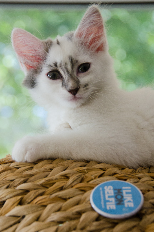Onyxe, femelle européenne blanche et grise, née le 22 avril 2018 Onyxe_26