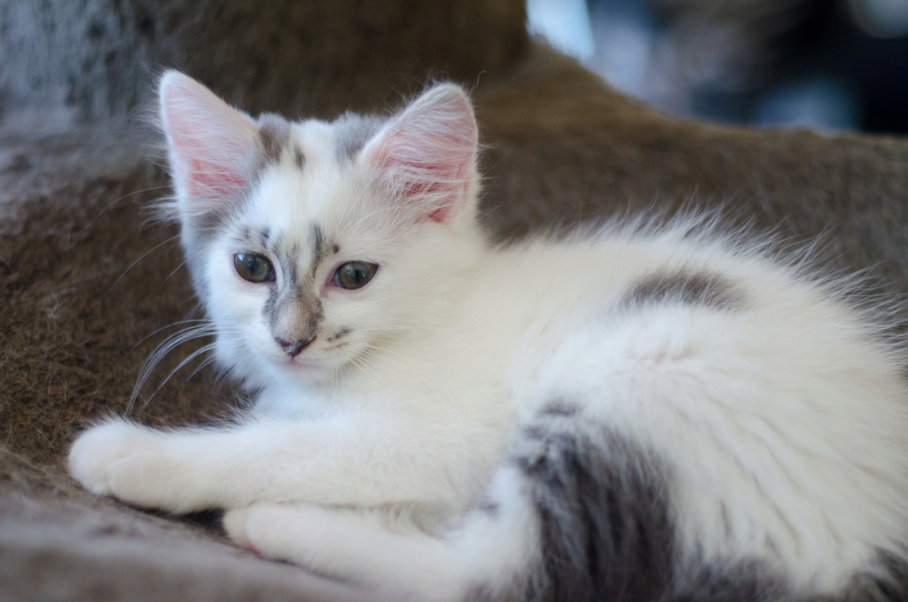 Onyxe, femelle européenne blanche et grise, née le 22 avril 2018 Onyxe_29