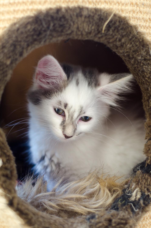 Onyxe, femelle européenne blanche et grise, née le 22 avril 2018 Onyxe_31