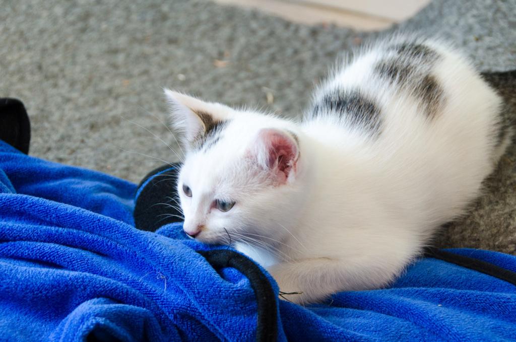 Opale, femelle type européenne blanche et tigrée, née le 22 avril 2018 Opale_17