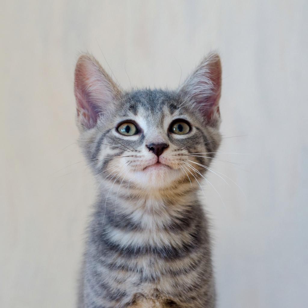 Oscar, mâle type européen tigré gris, né le 20 avril 2018 Oscar_12