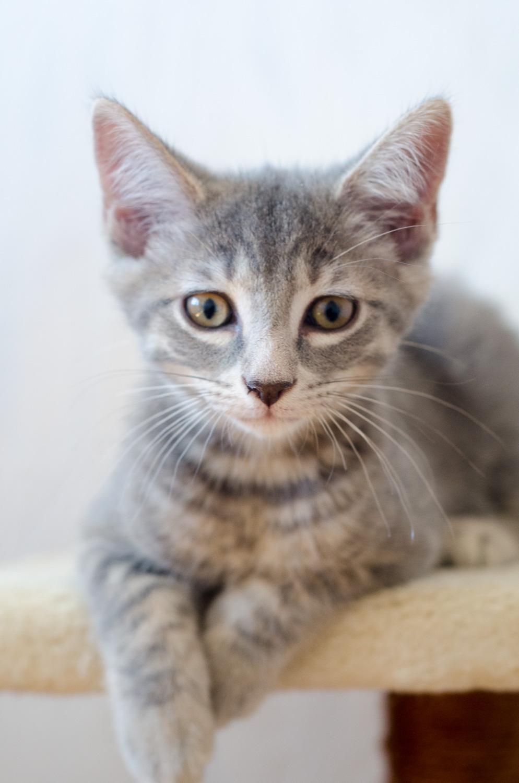 Oscar, mâle type européen tigré gris, né le 20 avril 2018 Oscar_16