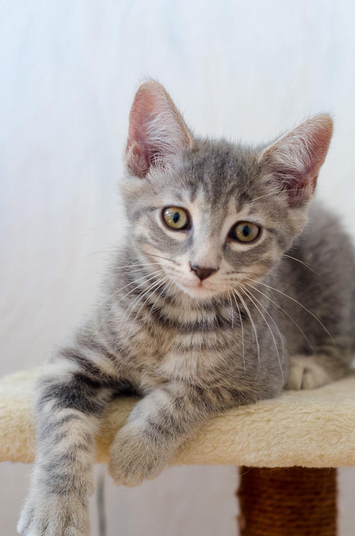 Oscar, mâle type européen tigré gris, né le 20 avril 2018 Oscar_17