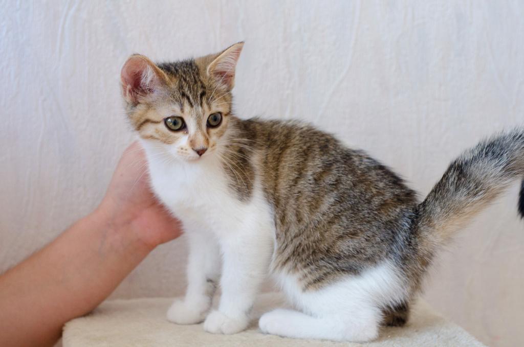 Osiris, femelle type européenne tigrée et blanche, née le 20 avril 2018 Osiris11