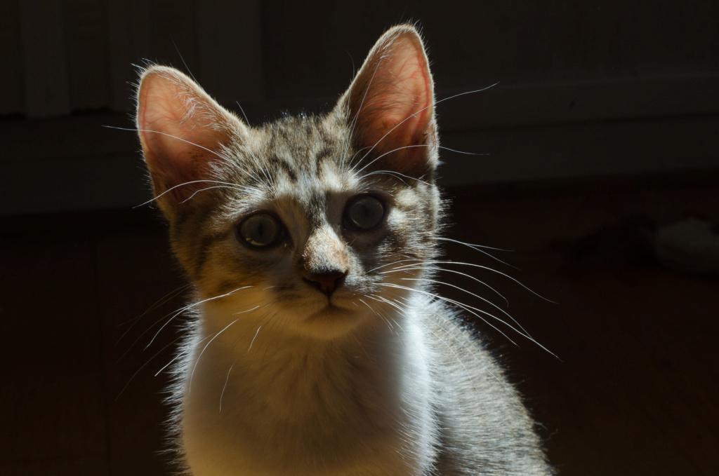 Osiris, femelle type européenne tigrée et blanche, née le 20 avril 2018 Osiris13