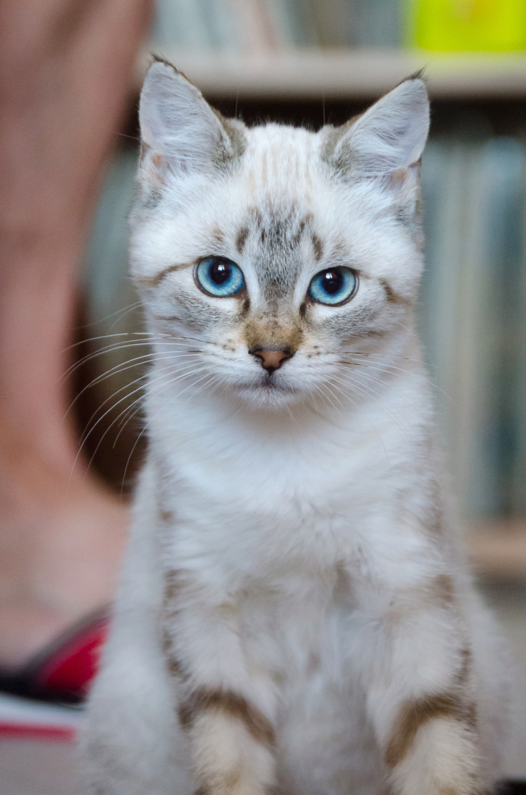 Perle, femelle type européenne x siamois tabby point estimée 1er juin 2019 Perle_15