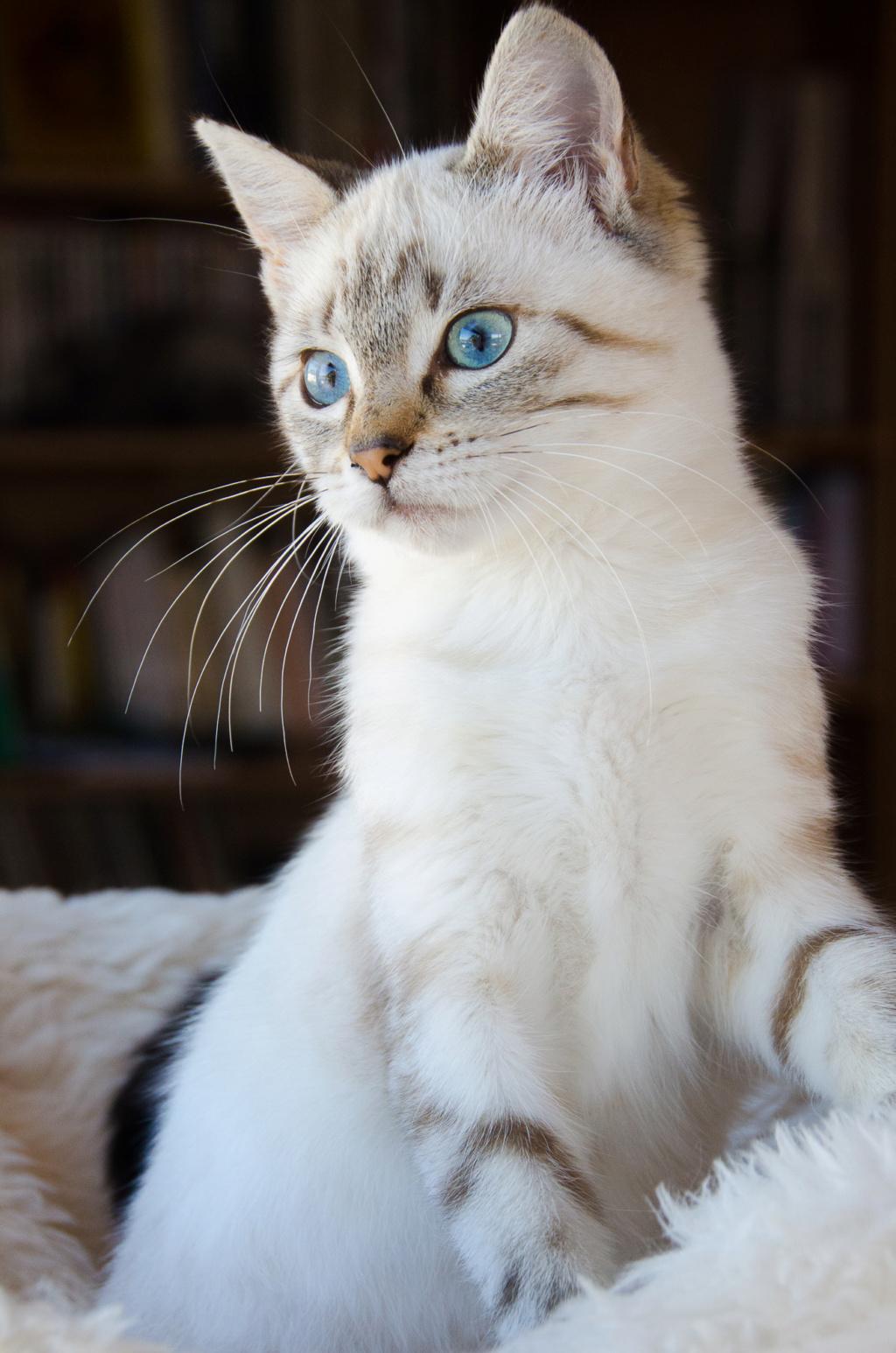 Perle, femelle type européenne x siamois tabby point estimée 1er juin 2019 Perle_19