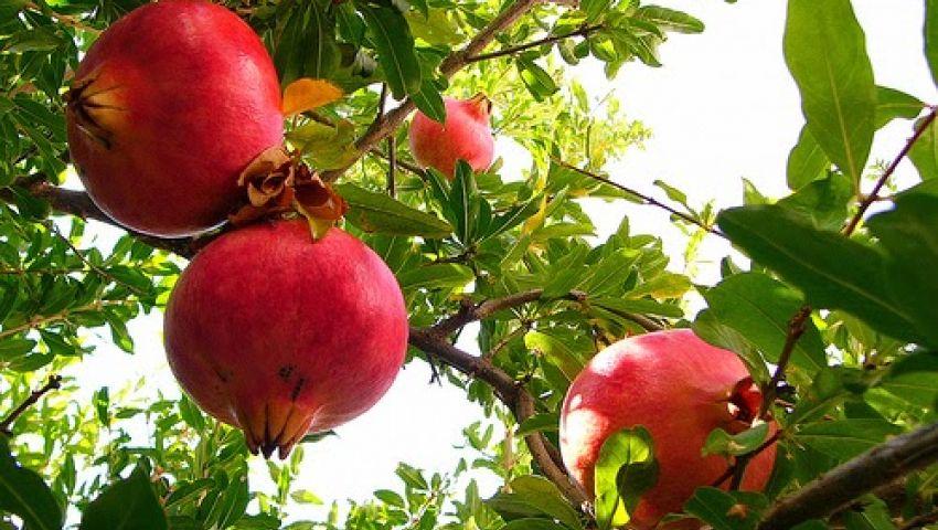 ما يتعلق بشجرة وفوائد الرمان . . 11961110